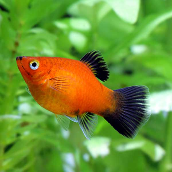 Flipper fun the best tropical fish for beginners for Best beginner fish