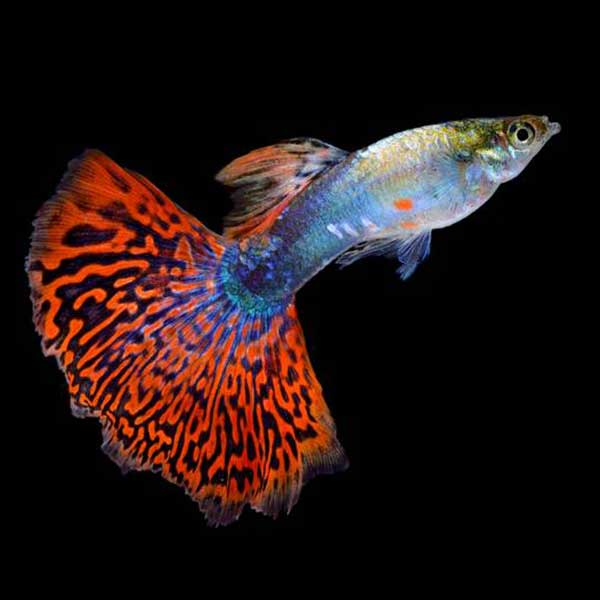 guppy-marbled